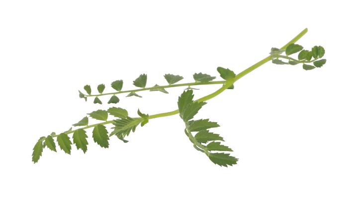 Hummus leaves